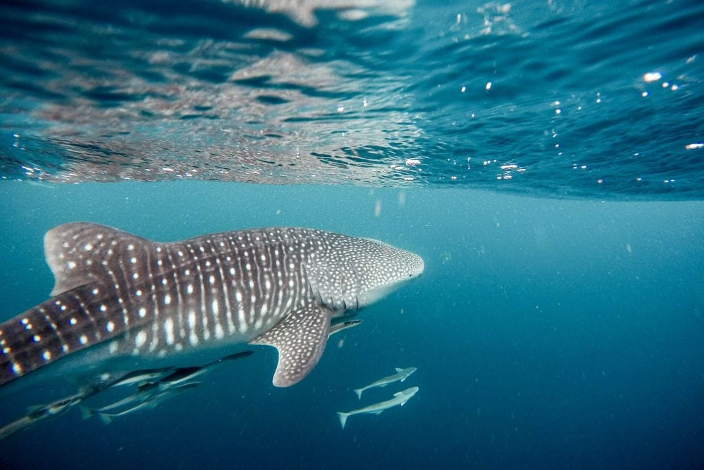 Baby Sharks Swimming under Adult Whale Shark