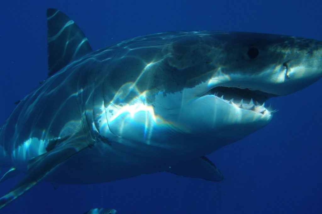 Close-up Photo of a Great White Shark