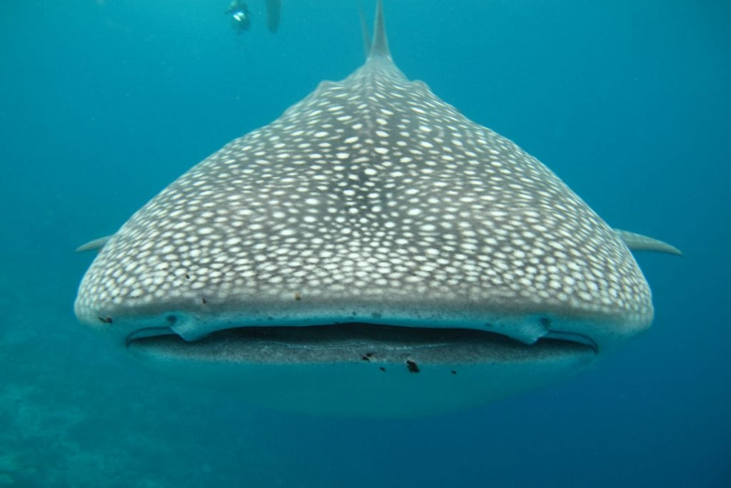 Front View of a Whale Shark