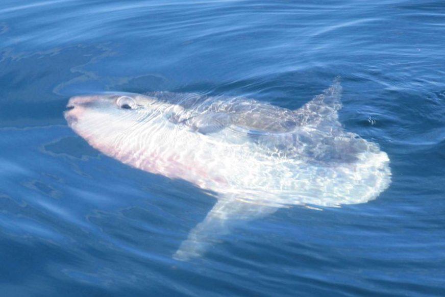 Mola Mola at the Surface of Water