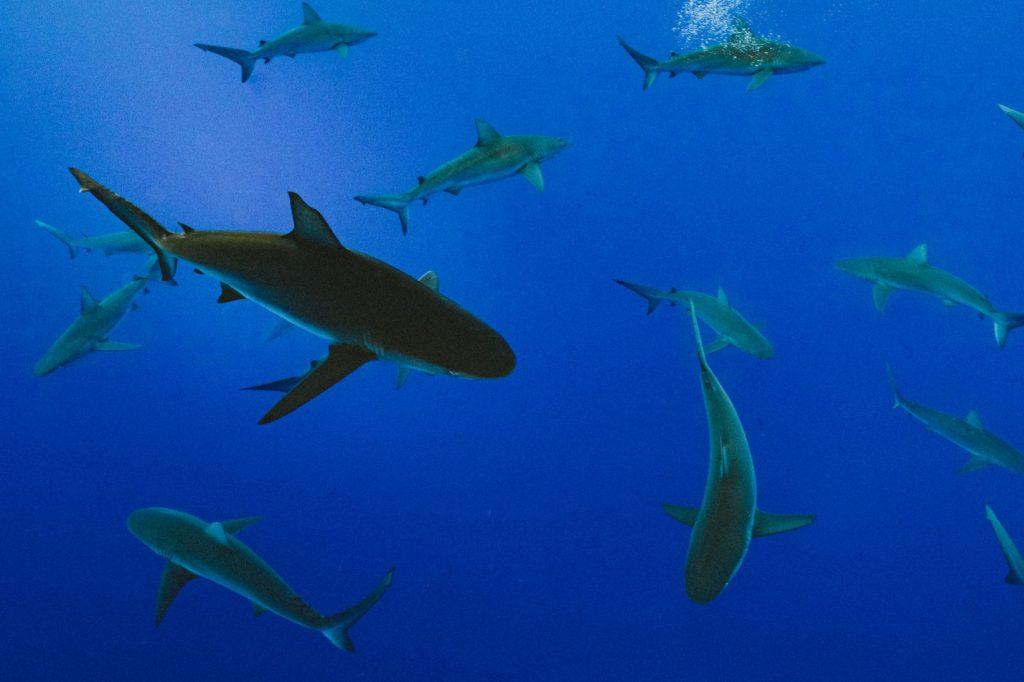 School of Baby Sharks