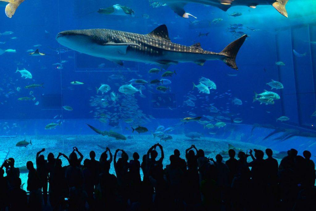 Whale Shark Inside an Aquarium