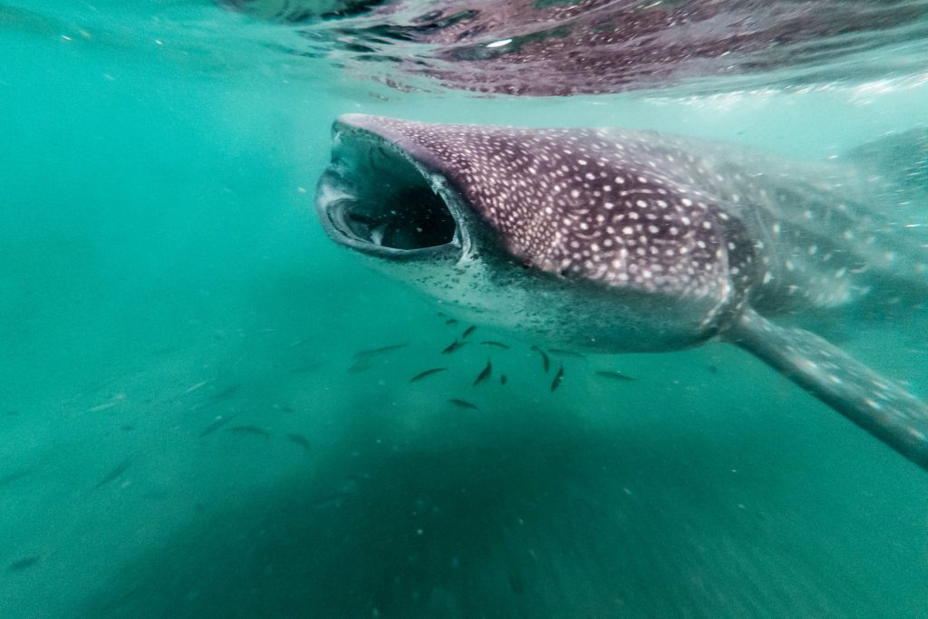 Whale Shark Opening its Mouth